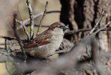 Free House Sparrow - Male Royalty Free Stock Image - 1726466