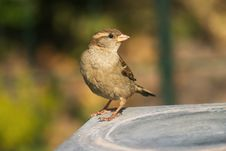 Free Sparrow Bird Royalty Free Stock Photos - 1727328
