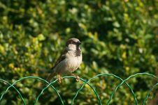 Sparrow Bird On The Fence Stock Photo