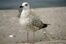 Curious Seagull Royalty Free Stock Images
