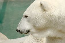 Side View Of Polar Bear Stock Photography
