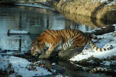 Free Siberian Tiger Stock Photography - 1729092