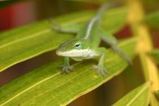 Free Cute Green Lizard Royalty Free Stock Photo - 1729155