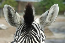Free Zebra Stock Photos - 1729373