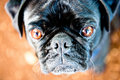 Free Pug Stare Royalty Free Stock Images - 17202409