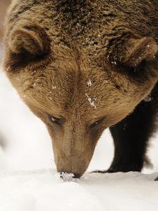 Free Brown Bear ( Ursus Arctos ) Royalty Free Stock Photos - 17201378