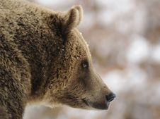 Free Brown Bear ( Ursus Arctos ) Royalty Free Stock Photography - 17201437