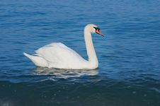 Free White Swan Stock Images - 17201804