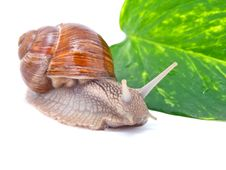 Free Garden Snail Royalty Free Stock Images - 17201979