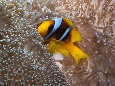 Free Red Sea Anemonfish Stock Photo - 17202280