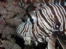 Free Lionfish Stock Photography - 17202342