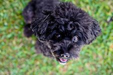 Free Black Dog Stare Royalty Free Stock Photo - 17202575