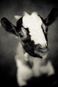 Free Goat Royalty Free Stock Image - 17202986