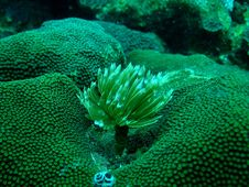 Free Anemones And Coral Royalty Free Stock Image - 17203246