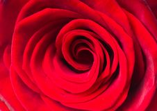 Free Red Rose. Macro. Stock Photography - 17203322