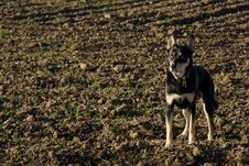 Free Husky Mix Dog In A Farmer S Field Royalty Free Stock Images - 17205869