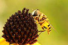 Virginia Flower Fly (Milesia Virginiensis) Stock Photo