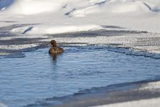 Free Duck In Frozen Pond Royalty Free Stock Image - 17207126