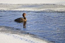 Free Duck In Frozen Pond Stock Photography - 17207362