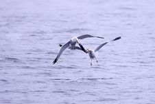 Free Two Gulls Fight For Fish. Stock Photo - 17208000