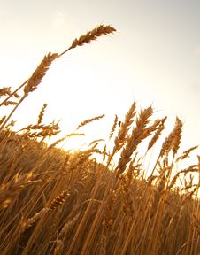Free Wheat Field Stock Images - 17208884