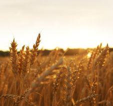 Free Wheat Field Royalty Free Stock Photo - 17208885