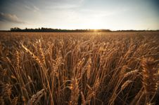 Free Wheat Field Royalty Free Stock Photography - 17208887