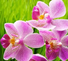 Free Orchid Flowers Over Green Grass Backgrou Stock Photo - 17208900