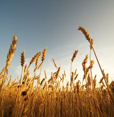 Free Wheat Field Stock Image - 17208941