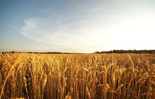 Free Wheat Field Stock Images - 17208944