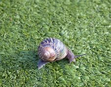 Free Snail Royalty Free Stock Images - 17209709
