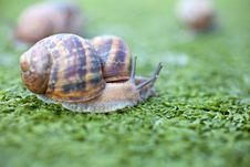 Free Snails Royalty Free Stock Photography - 17209797