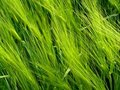 Free Green Wheat Field Royalty Free Stock Photos - 17216978