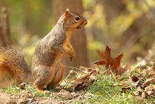 Free Fox Squirrel, Sciurus Niger Royalty Free Stock Images - 17213779