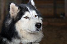 Free Siberian Husky Portrait Stock Photography - 17215182