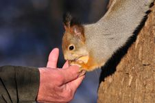 Free Red Squirrel. Stock Photography - 17215632