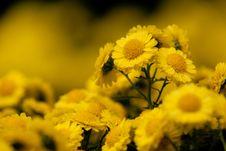 Free Colsed Up Chrysanthemum Stock Image - 17215951