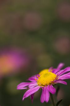 Colsed Up Pink Chrysanthemum With Nice Color Royalty Free Stock Images