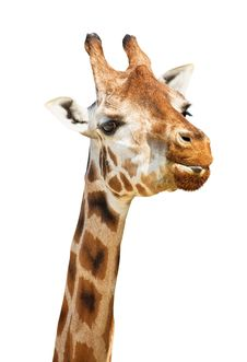 Free Giraffe Head Sly Look Royalty Free Stock Images - 17217619