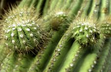 Free Cactus Royalty Free Stock Photo - 17218675