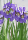 Free Violet Iris Flowers In Park Stock Photography - 17227552