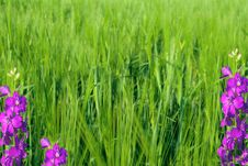 Free Young Green Wheat And Violet Flowers Royalty Free Stock Photo - 17221455
