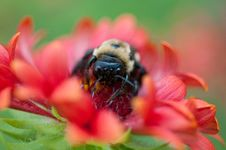 Free Bumblebee Collecting Pollen Stock Photography - 17224572