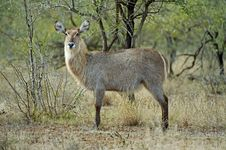 Free Waterbuck Female Royalty Free Stock Images - 17226059