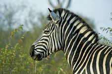 Free Zebra Stallion Stock Photo - 17226130