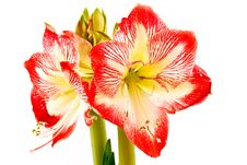 Free Amaryllis Royalty Free Stock Photos - 17227238