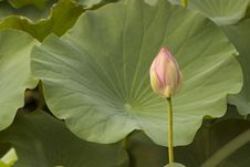 Free Lotus Bud Stock Photos - 17227733