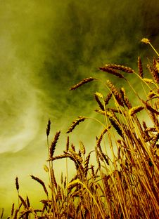 Free Wheat Royalty Free Stock Image - 17228086