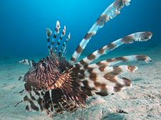 Free Lion Fish Underwater Royalty Free Stock Photo - 17229035
