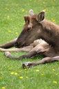 Free Shedding Elk Royalty Free Stock Photography - 17238137